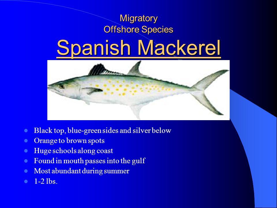 Migratory Offshore Species Spanish Mackerel