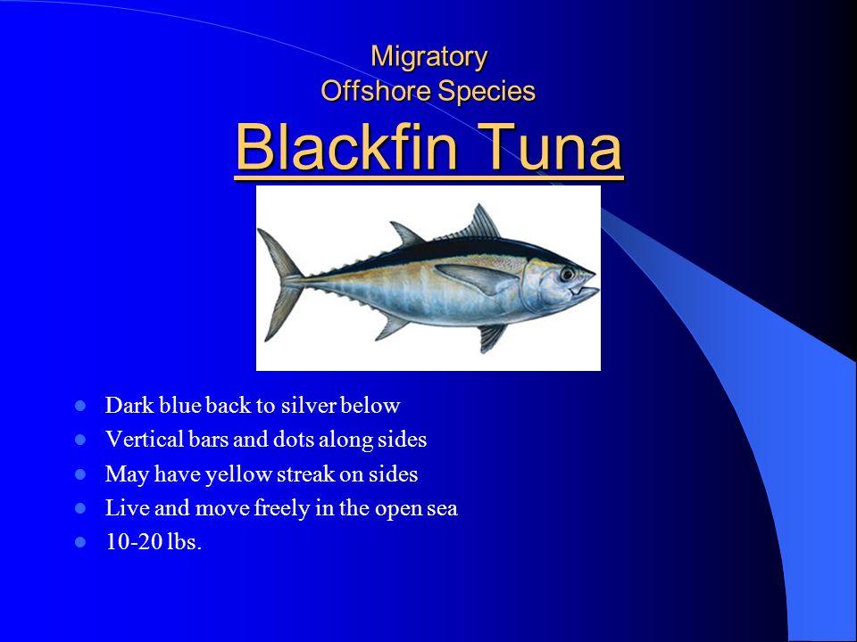 Migratory Offshore Species Blackfin Tuna