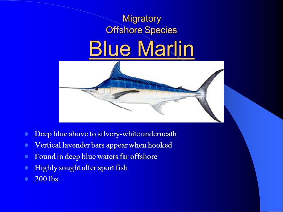 Migratory Offshore Species Blue Marlin