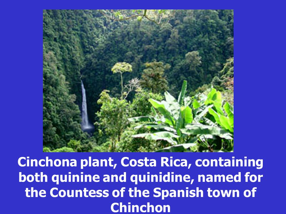 Cinchona plant, Costa Rica, containing both quinine and quinidine, named for the Countess of the Spanish town of Chinchon