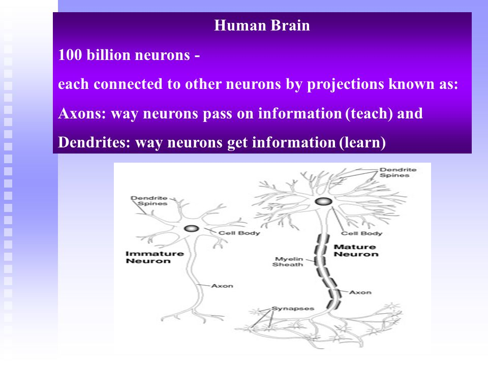 Human Brain 100 billion neurons - each connected to other neurons by projections known as: Axons: way neurons pass on information (teach) and.