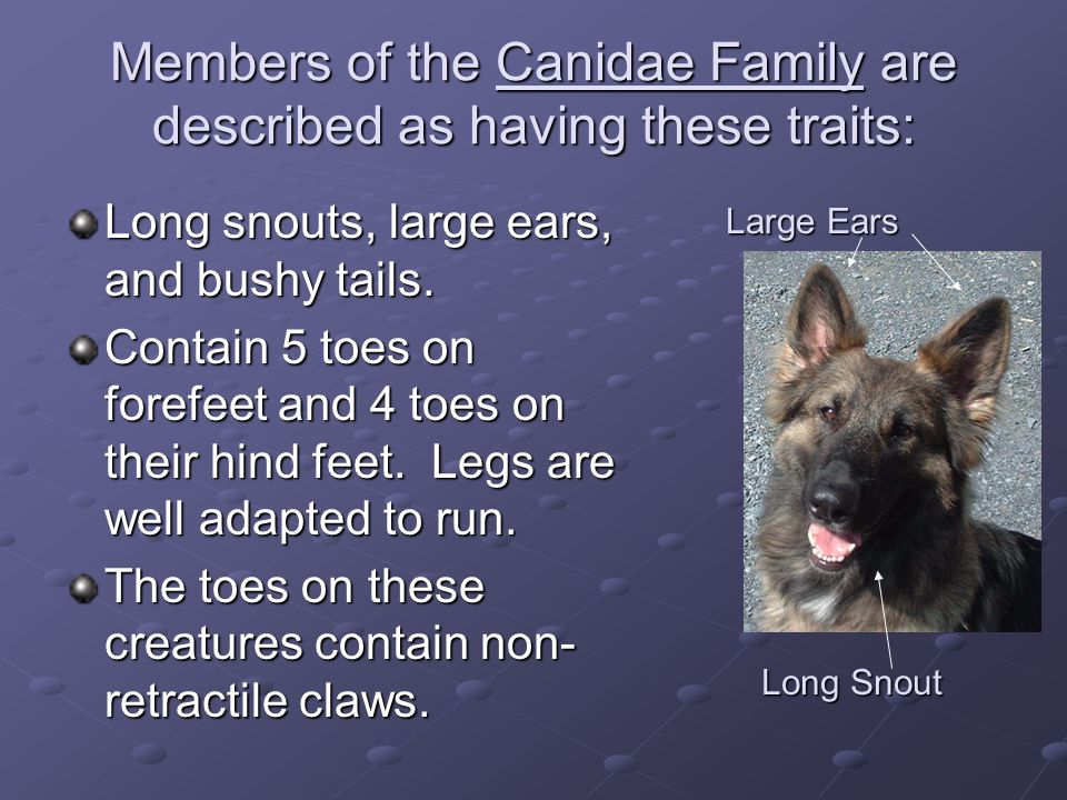 Members of the Canidae Family are described as having these traits:
