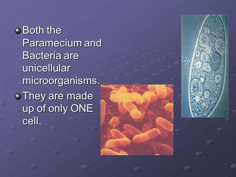 Both the Paramecium and Bacteria are unicellular microorganisms.