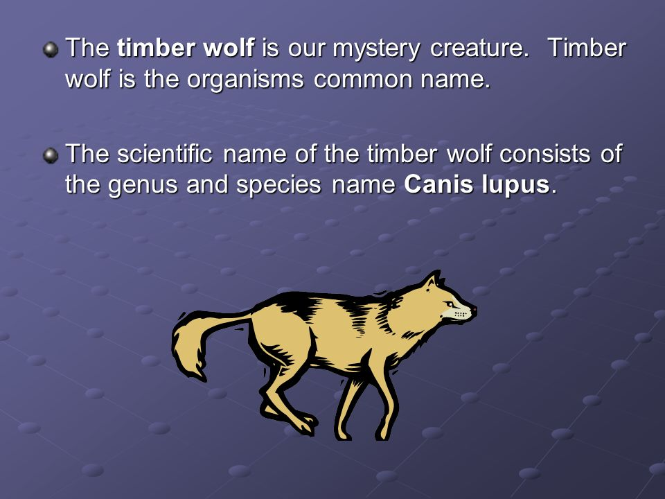 The timber wolf is our mystery creature
