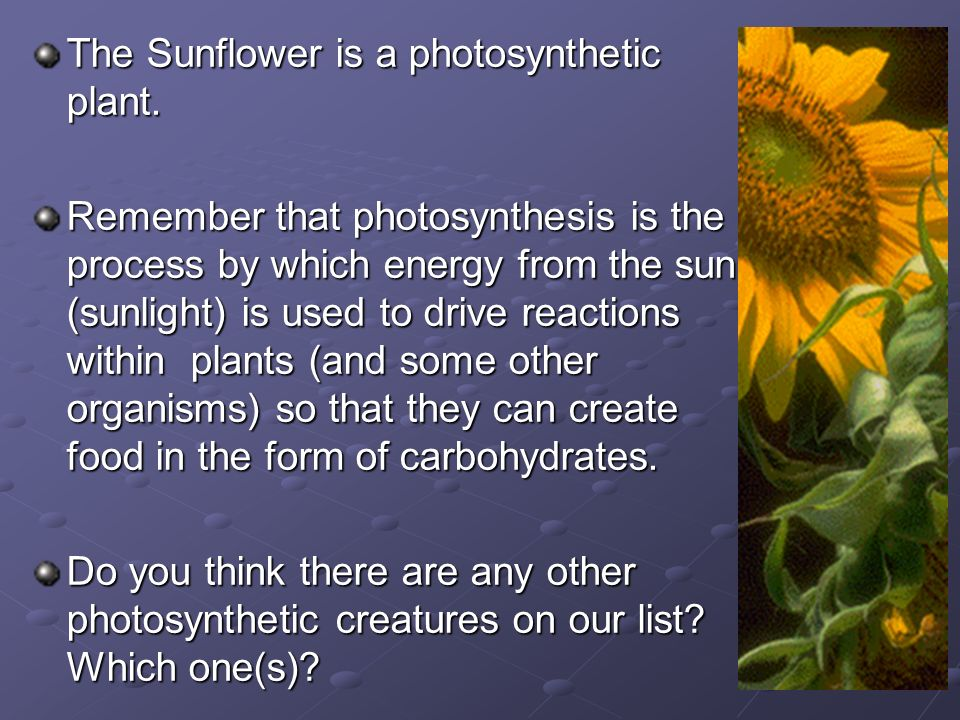 The Sunflower is a photosynthetic plant.