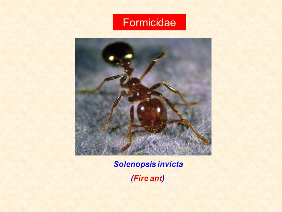 Formicidae Solenopsis invicta (Fire ant)