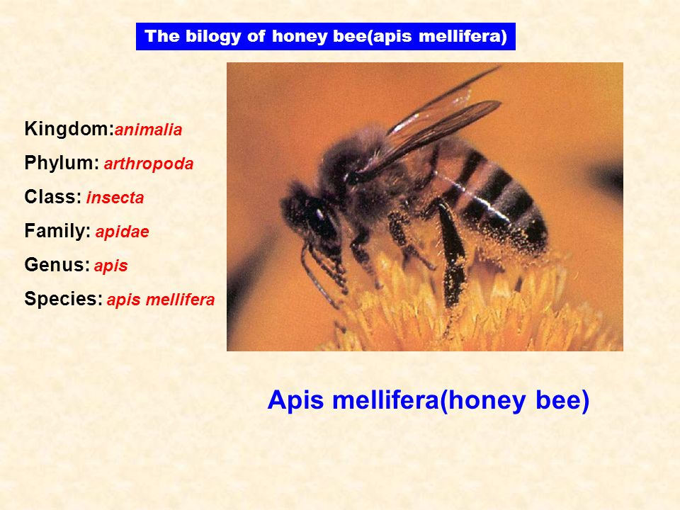 The bilogy of honey bee(apis mellifera)