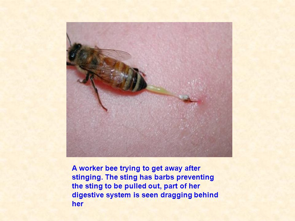 A worker bee trying to get away after stinging
