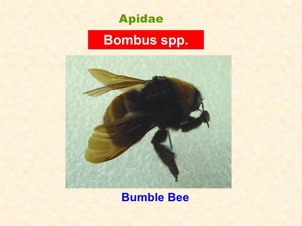 Apidae Bombus spp. Bumble Bee