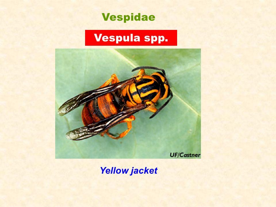 Vespidae Vespula spp. Yellow jacket