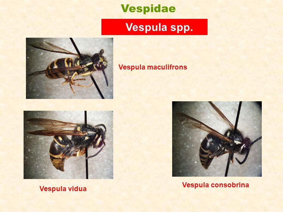 Vespidae Vespula spp. Vespula maculifrons Vespula vidua