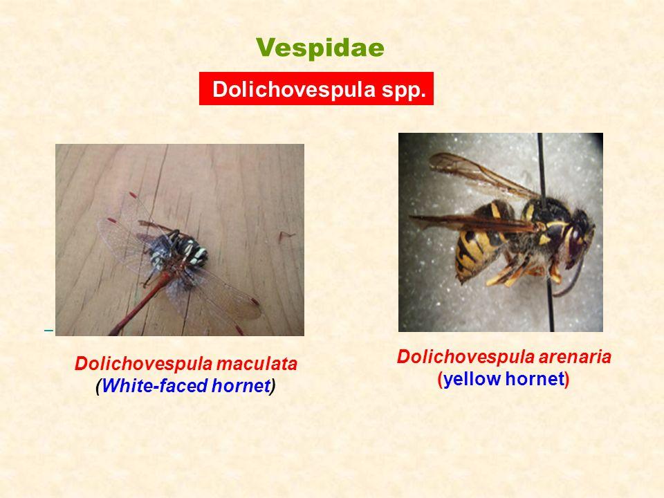 Dolichovespula arenaria Dolichovespula maculata (White-faced hornet)