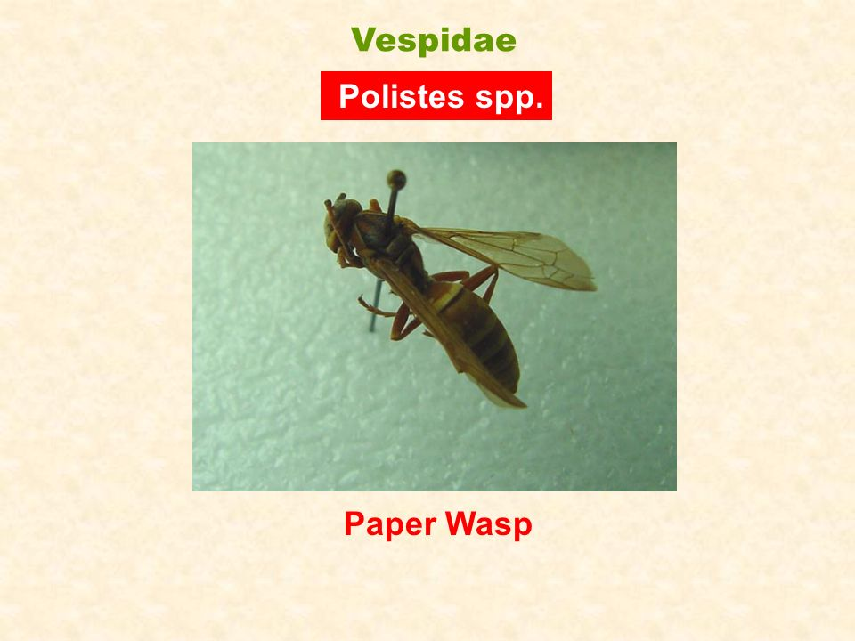 Vespidae Polistes spp. Paper Wasp