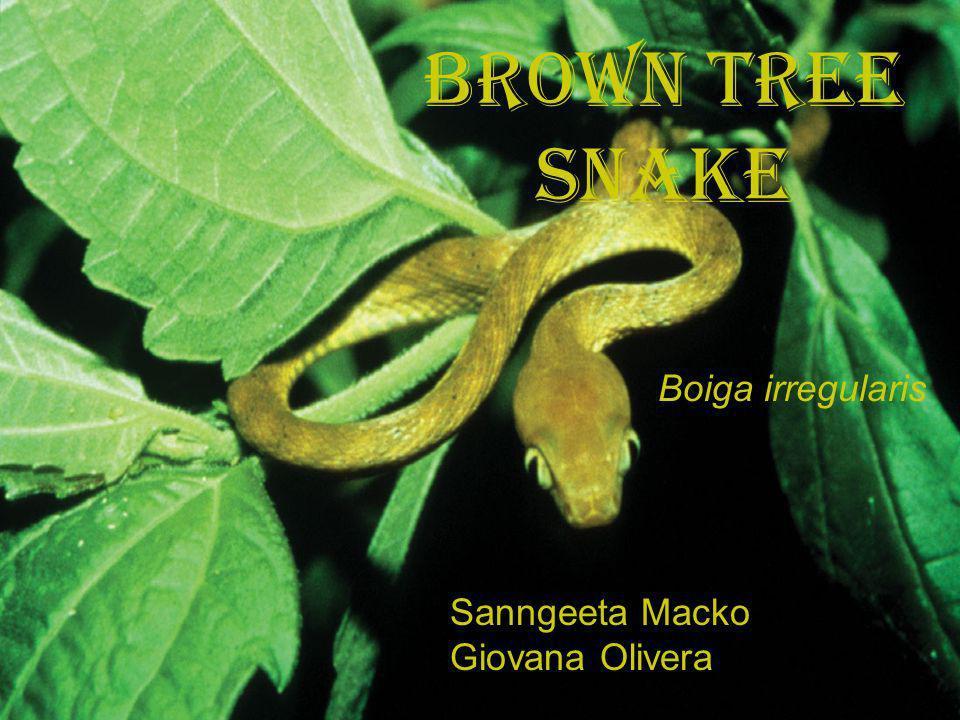 Brown Tree Snake Boiga irregularis Sanngeeta Macko Giovana Olivera