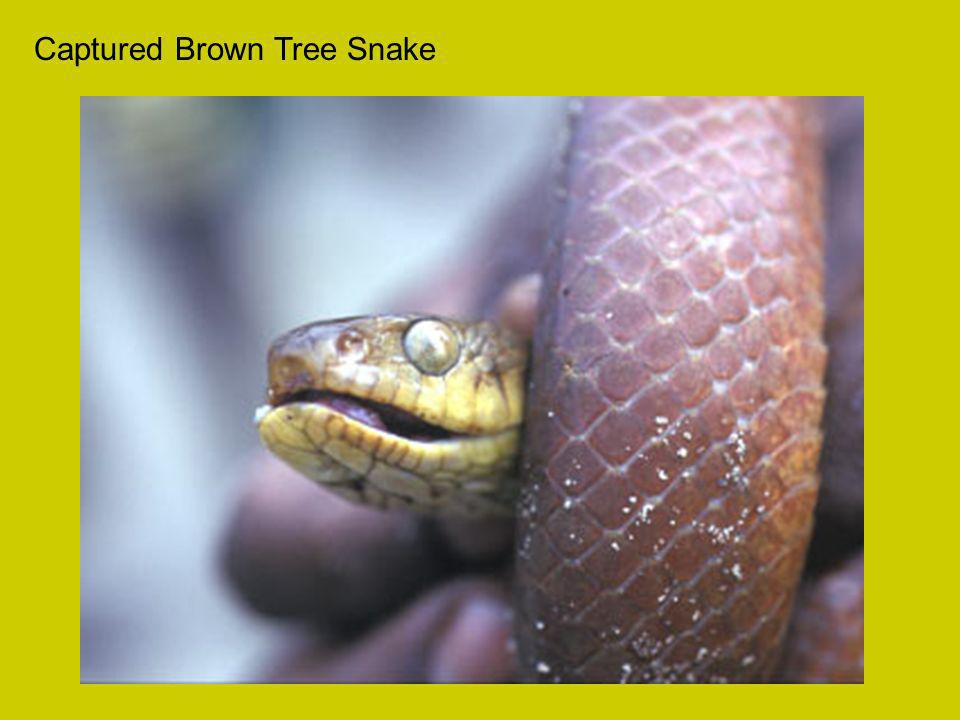 Captured Brown Tree Snake