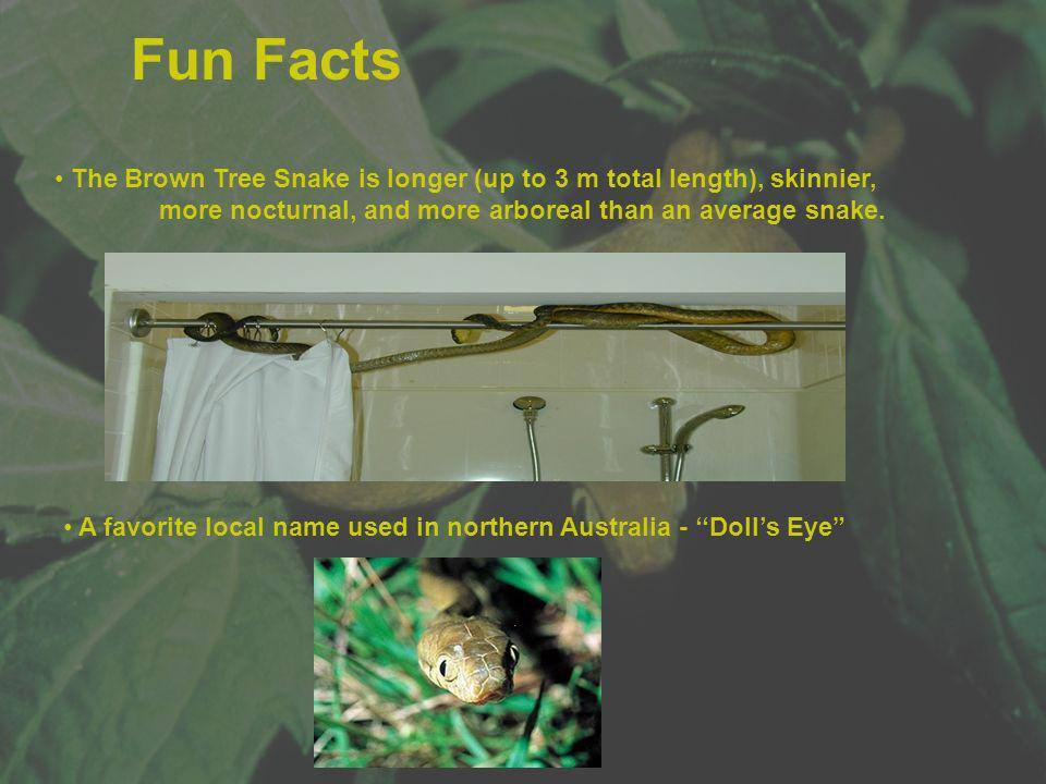 Fun Facts The Brown Tree Snake is longer (up to 3 m total length), skinnier, more nocturnal, and more arboreal than an average snake.