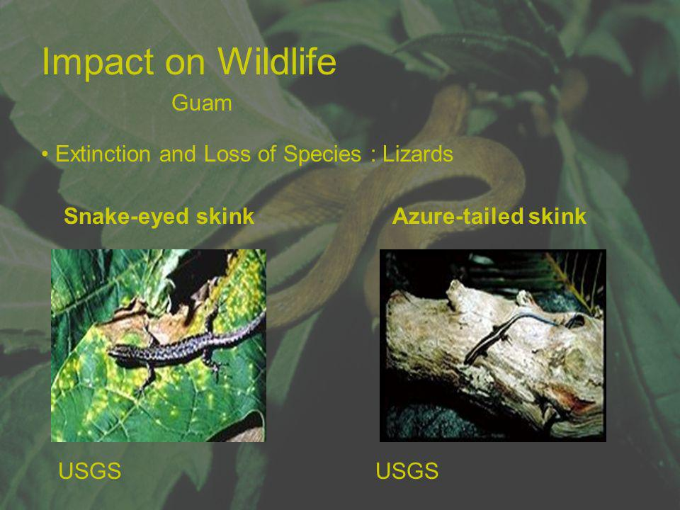 Impact on Wildlife Guam Extinction and Loss of Species : Lizards