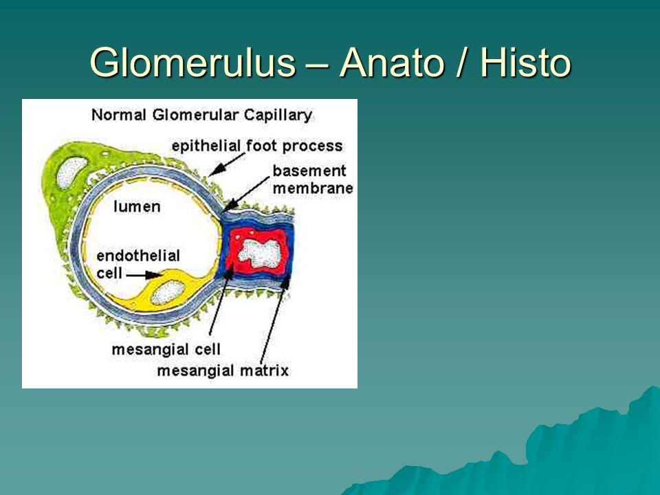 Glomerulus – Anato / Histo