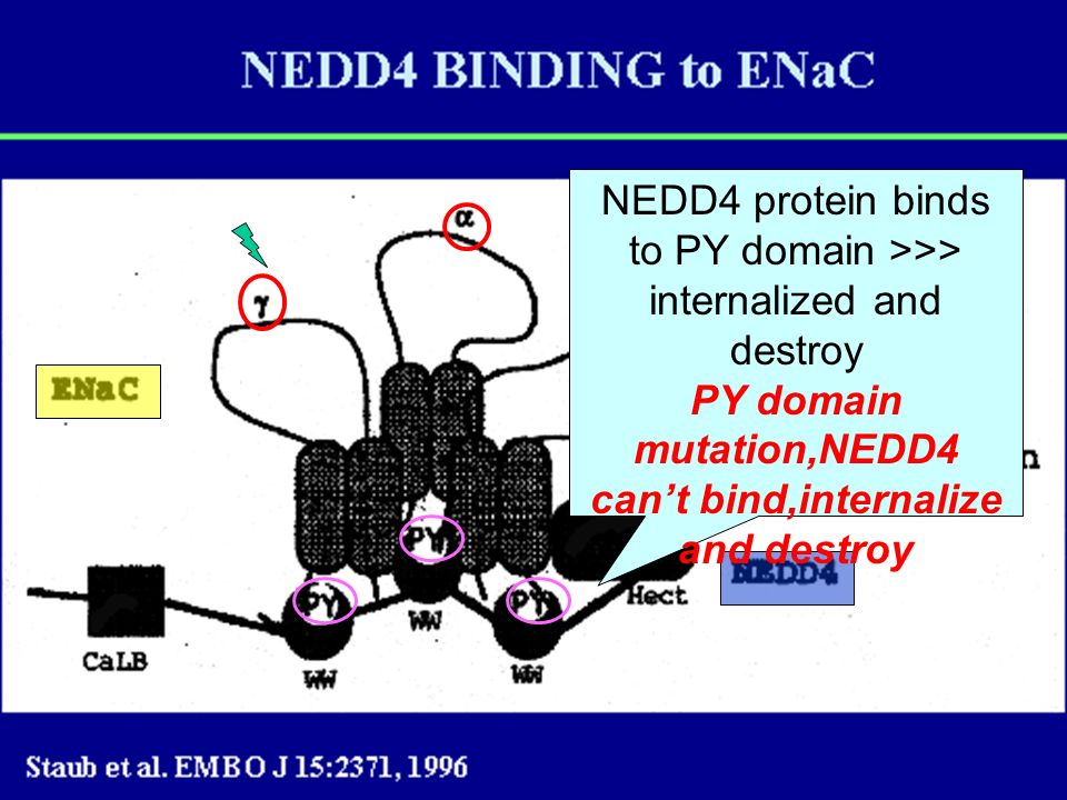 PY domain mutation,NEDD4 can't bind,internalize and destroy