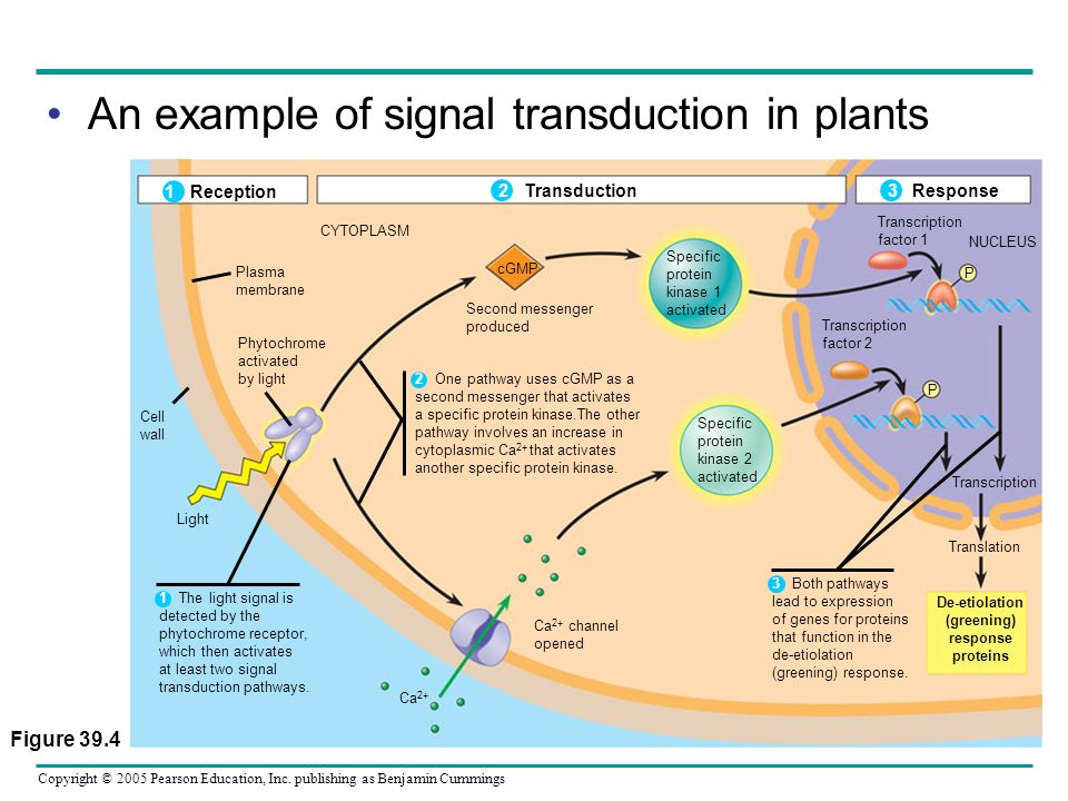 An example of signal transduction in plants
