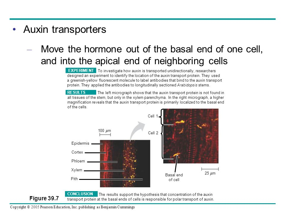 Auxin transporters Move the hormone out of the basal end of one cell, and into the apical end of neighboring cells.