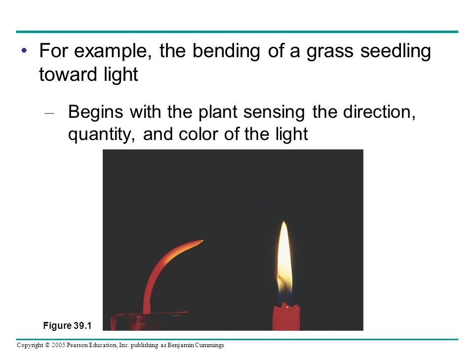 For example, the bending of a grass seedling toward light