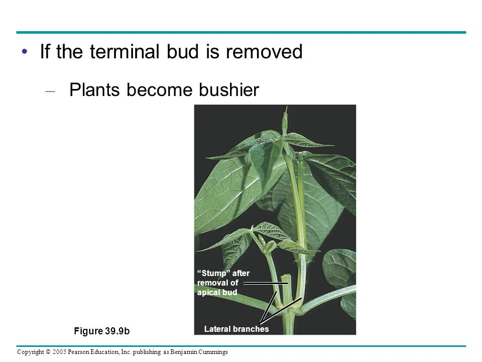 If the terminal bud is removed