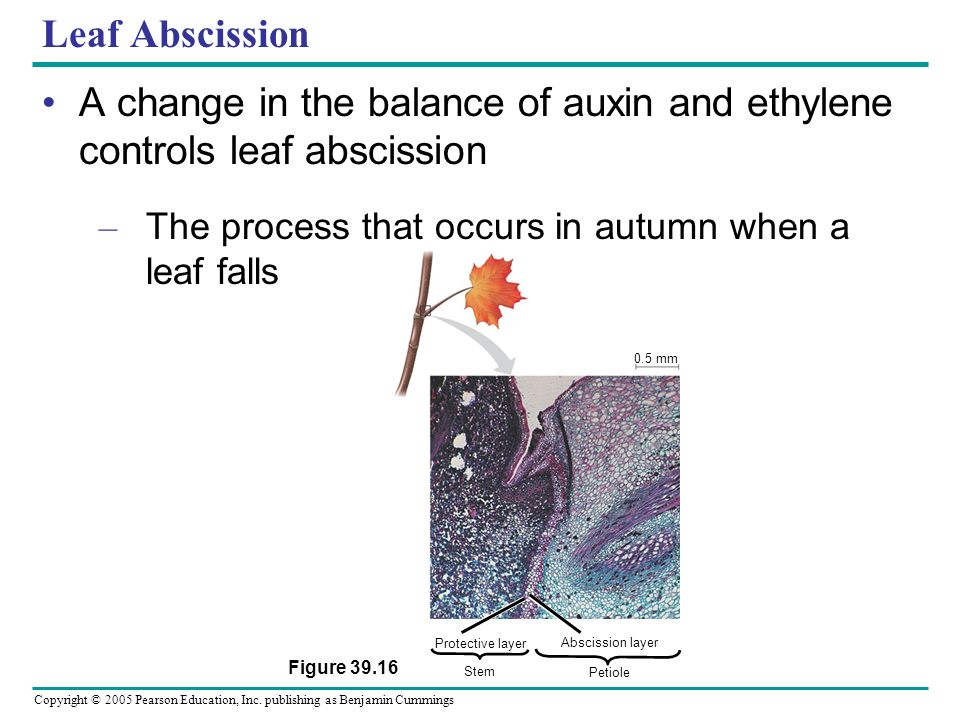 A change in the balance of auxin and ethylene controls leaf abscission