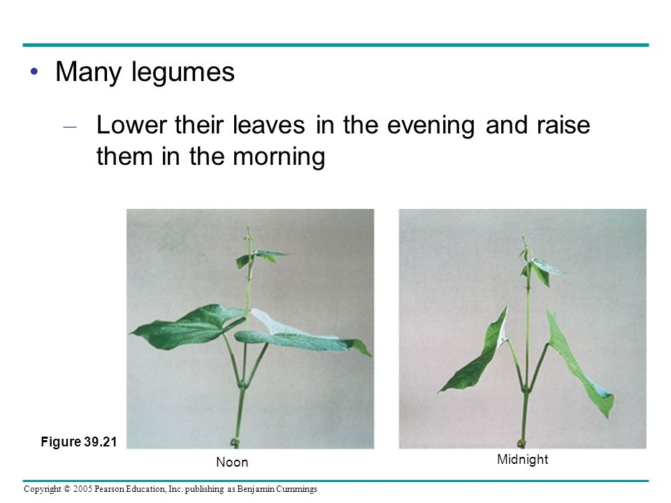 Many legumes Lower their leaves in the evening and raise them in the morning.