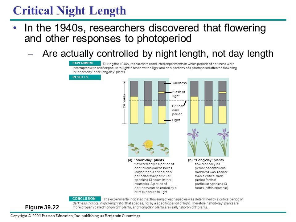 Critical Night Length In the 1940s, researchers discovered that flowering and other responses to photoperiod.