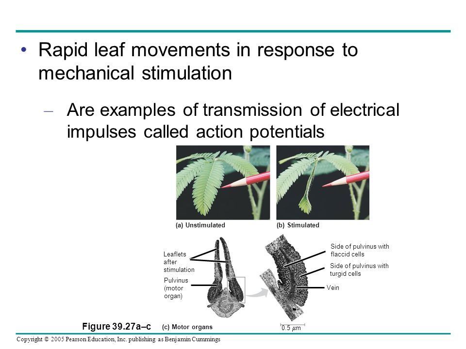 Rapid leaf movements in response to mechanical stimulation
