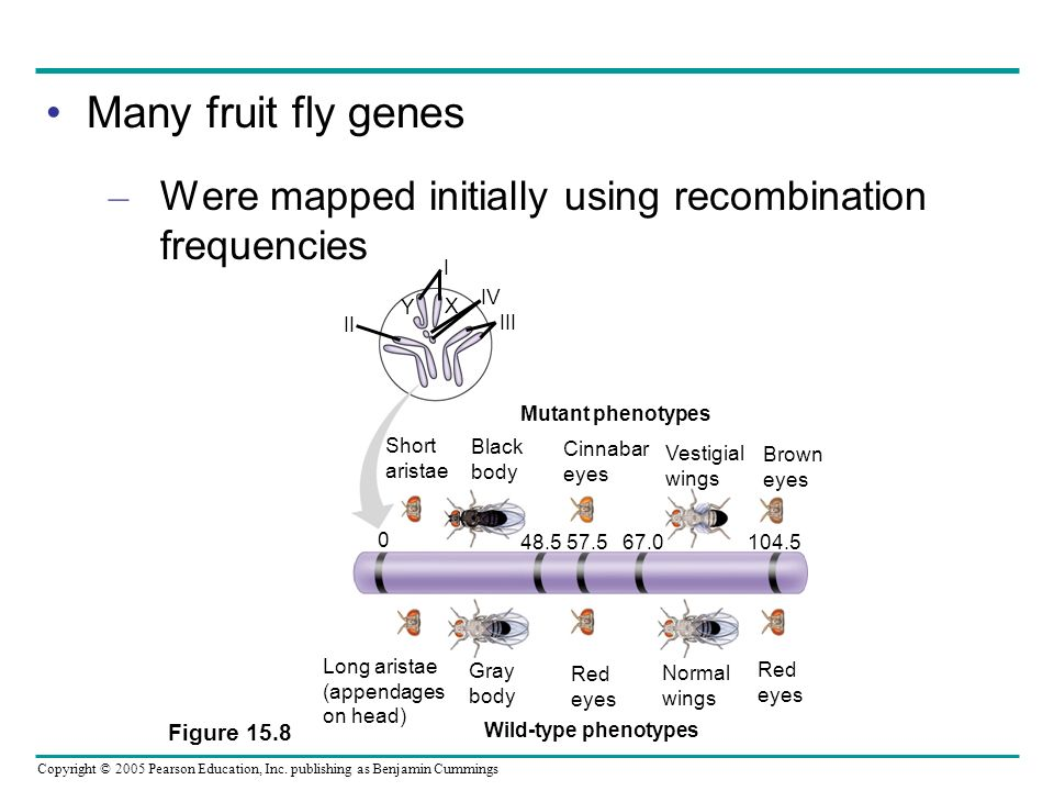 Many fruit fly genes Were mapped initially using recombination frequencies. Figure 15.8. Mutant phenotypes.