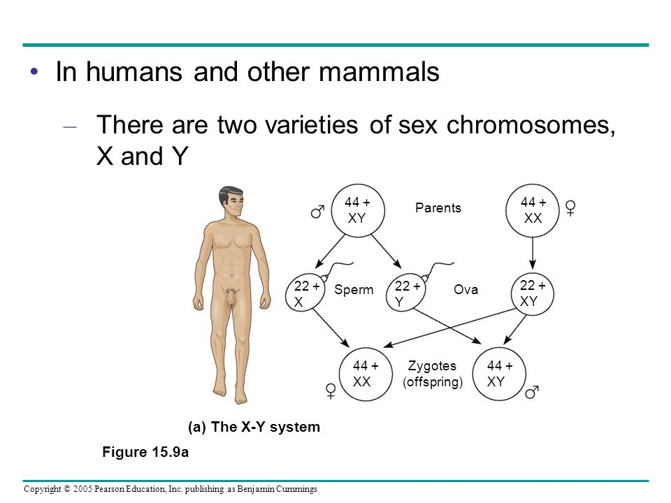 In humans and other mammals