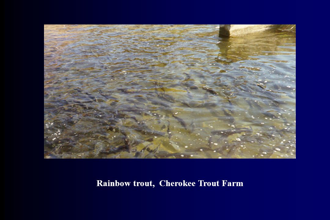 Rainbow trout, Cherokee Trout Farm