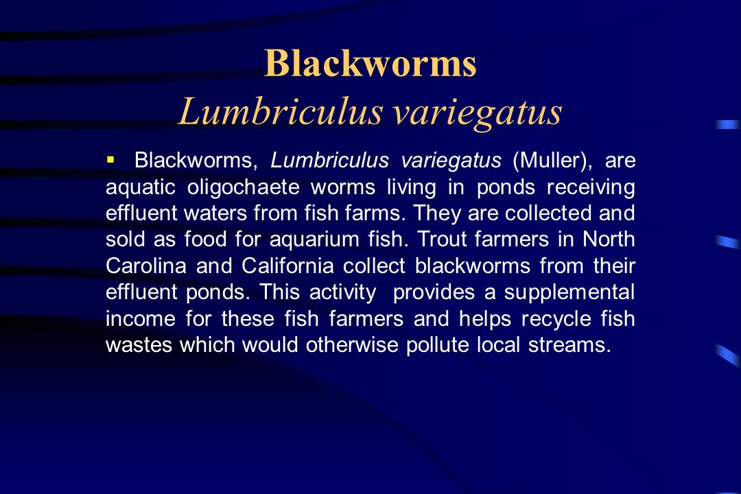 Blackworms Lumbriculus variegatus