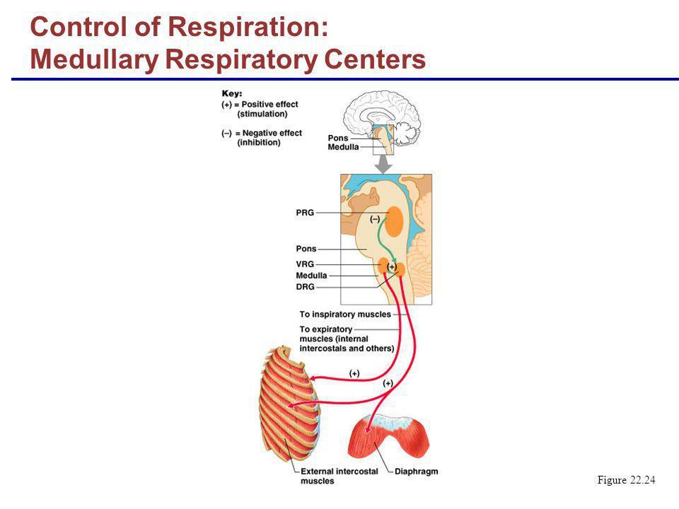 Control of Respiration: Medullary Respiratory Centers