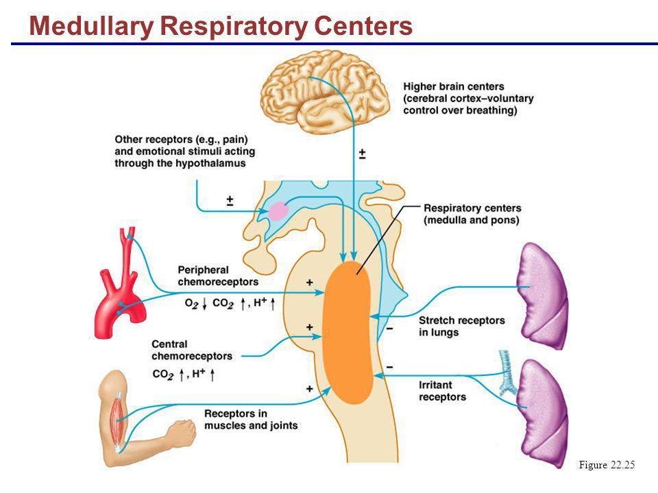Medullary Respiratory Centers