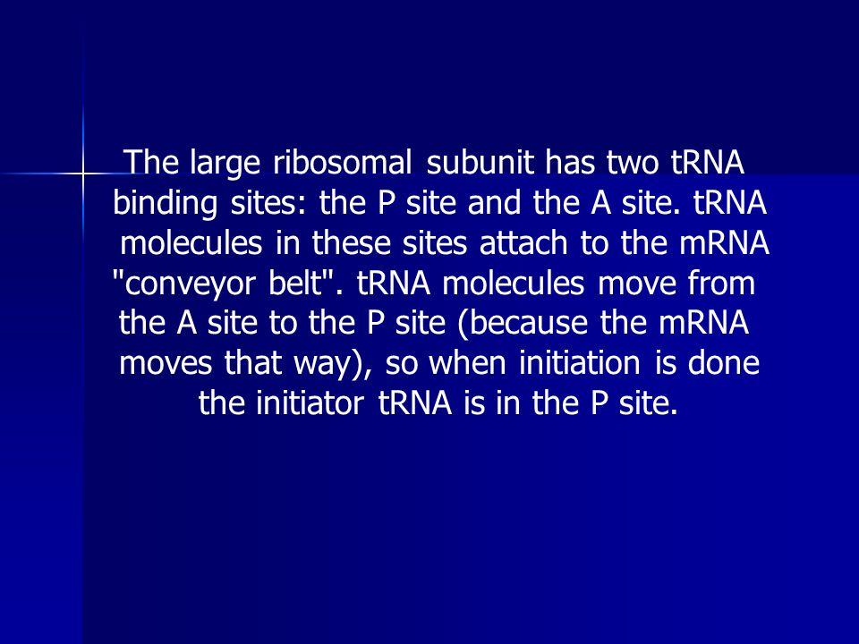 The large ribosomal subunit has two tRNA
