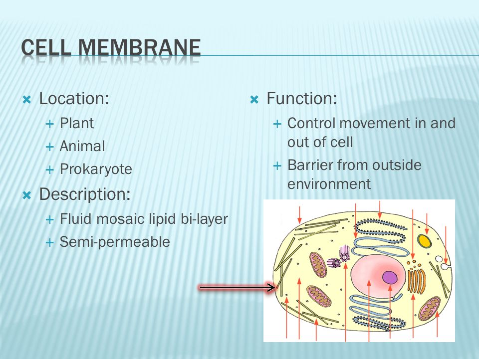 Cell membrane animal cell function