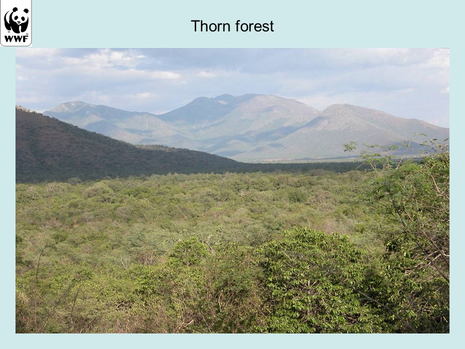 Thorn forest