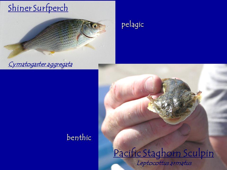 Pacific Staghorn Sculpin Leptocottus armatus