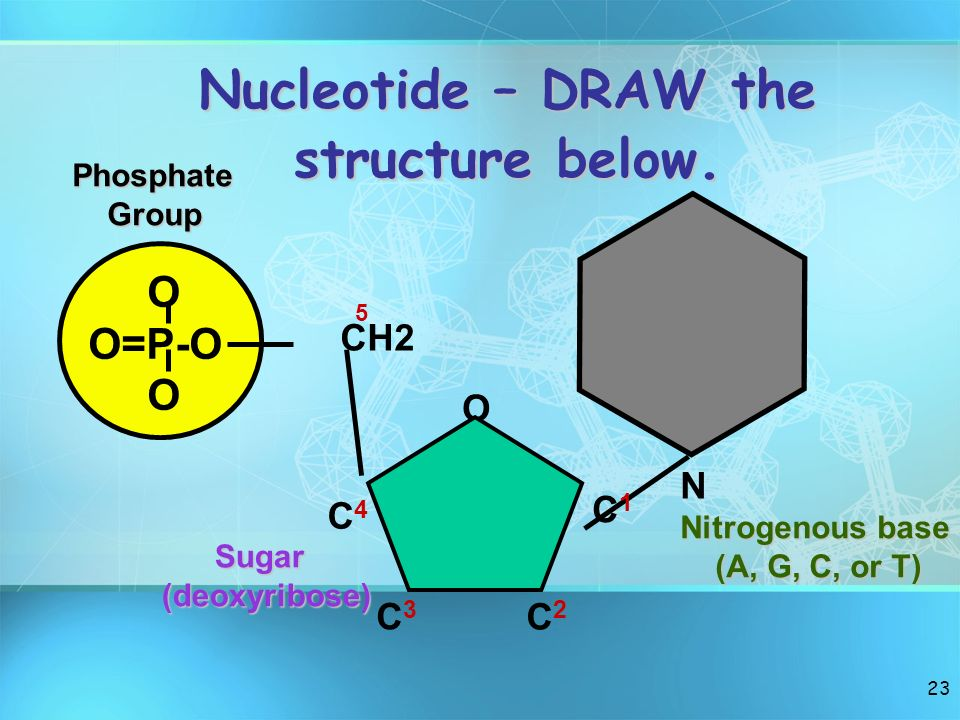Nucleotide – DRAW the structure below.