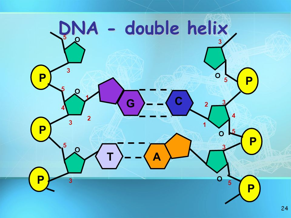 DNA - double helix P O P O G C T A