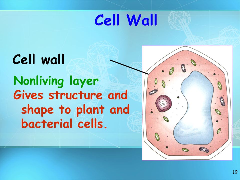 Cell Wall Cell wall Nonliving layer