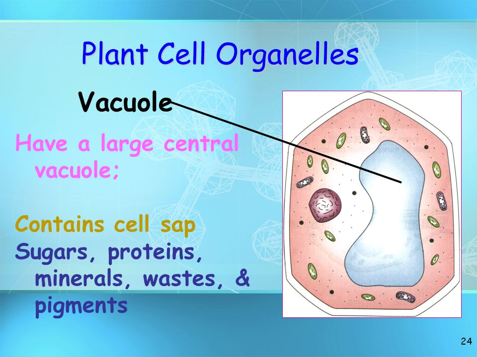 Plant Cell Organelles Vacuole Have a large central vacuole;