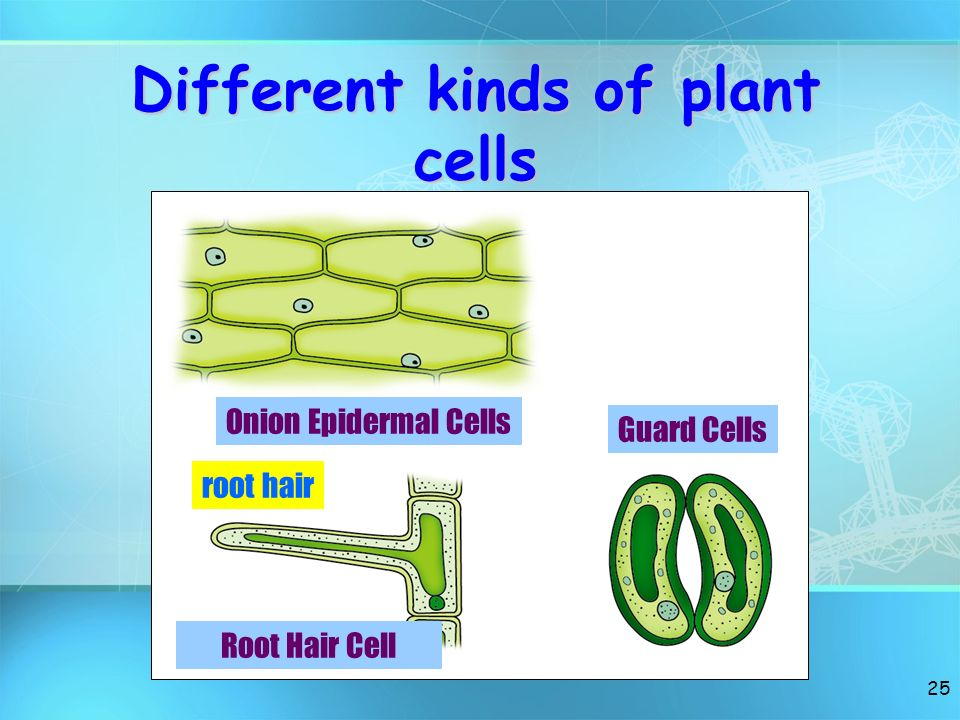 Different kinds of plant cells