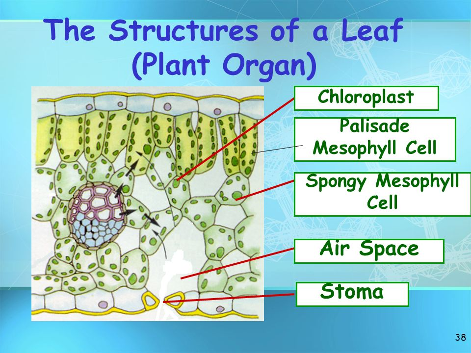 The Structures of a Leaf (Plant Organ)