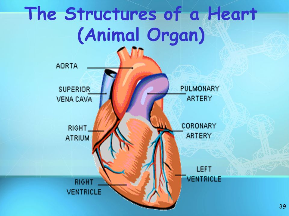 The Structures of a Heart (Animal Organ)