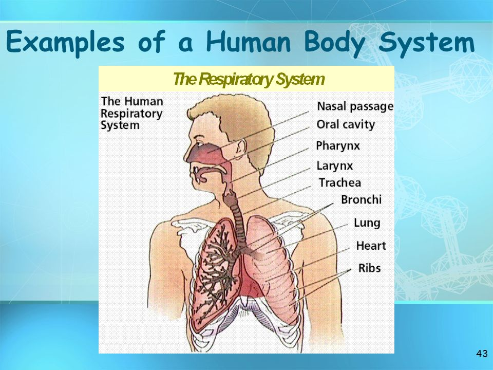 Examples of a Human Body System