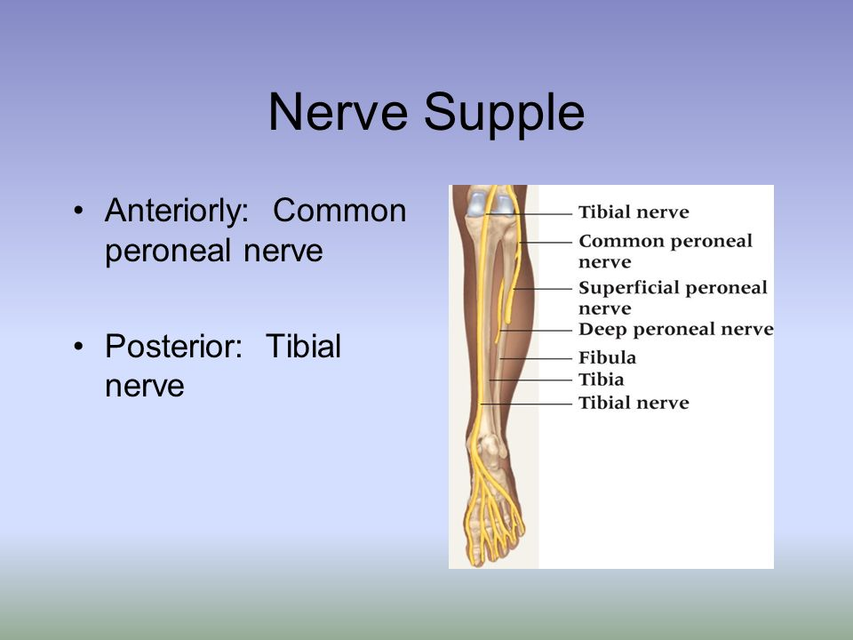 Nerve Supple Anteriorly: Common peroneal nerve Posterior: Tibial nerve